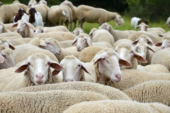 Rohfleisch vom Lamm