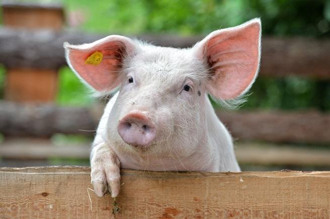 Rohfleisch vom Schwein